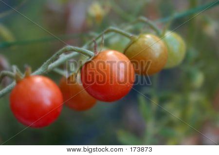 Cherrytomatovine