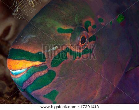 Bullhead parrotfish (Chlorurus soridus)