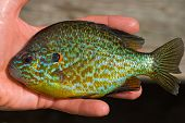 stock photo of bluegill  - Close - JPG