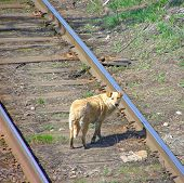 stock photo of cockapoo  - lonely sad homeless abandoned red dog on tracks - JPG