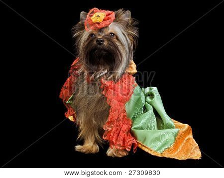 Yorkshire Terrier with royal dress isolated