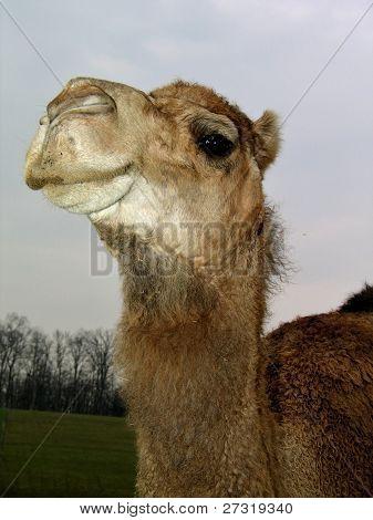Camel Attitude