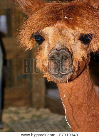 Close up of a young alpaca