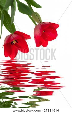 Elegant red tulips with water reflection
