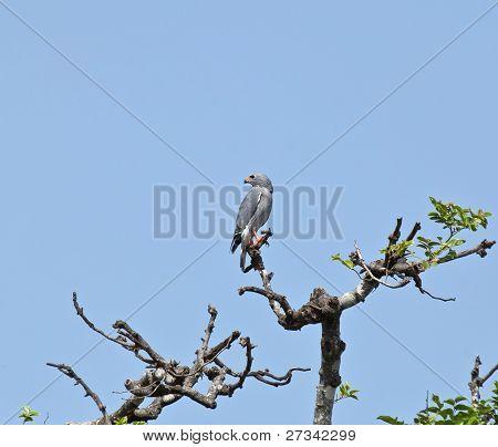 Lizard Buzzard In Tree