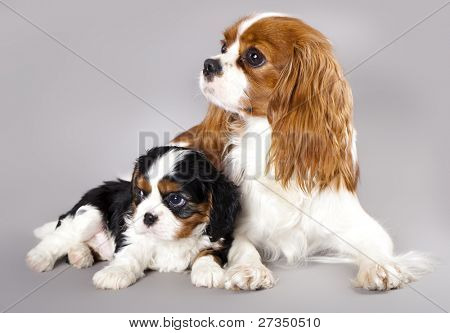 Litter of Cavalier King Charles spaniel,