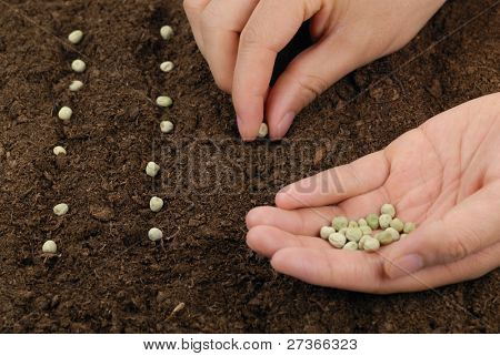 sowing peas in a row,concept.