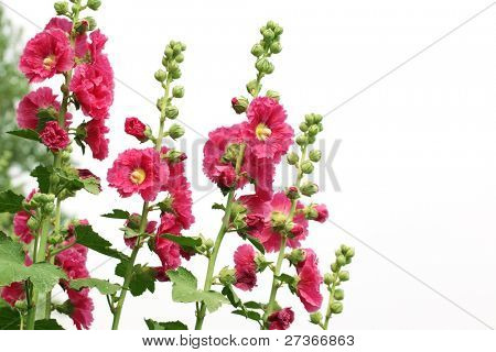 Red hollyhock flower isolated on white