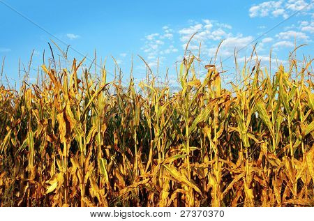Mature corn field under a blue sky at sunset.