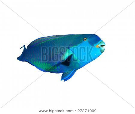 Red Sea Steephead Parrotfish isolated on white background