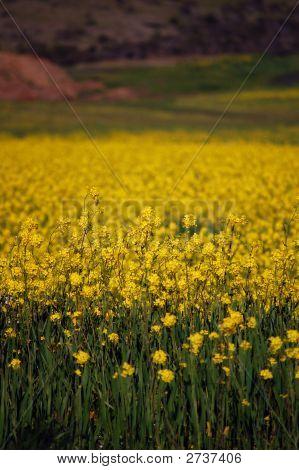 Springtime Yellow