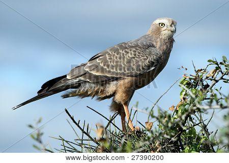 Juvenile Pale Chanting Goshawk Bird