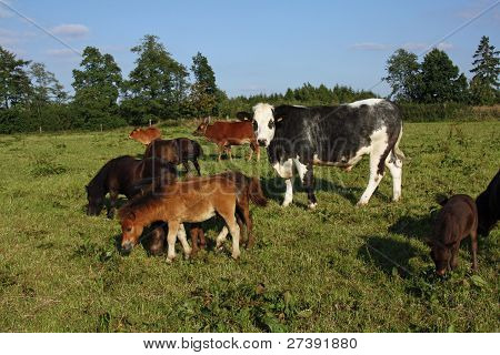 Mixed Herd Of Cattle On A Pasture (ponies, Cattle, Zebu)