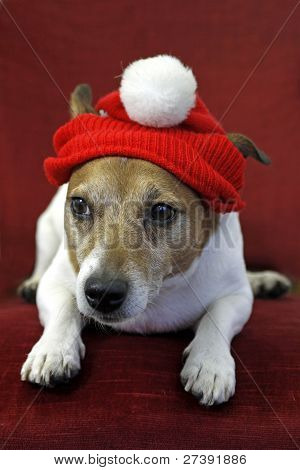 On A Chair Lying Jack Russell Terrier With Santa Hat