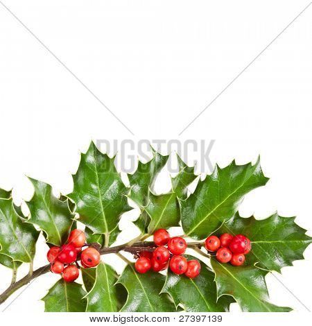 Sprig of european holly Ilex  isolated on white