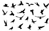 picture of animal silhouette  - various seagull bird silhouettes black on white background - JPG