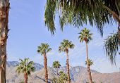 stock photo of washingtonia  - Fan Palms Trees Palm Springs California washingtonia filifera - JPG