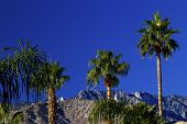 picture of washingtonia  - Fan Palms Trees washingtonia filifera Mountains Palm Springs California - JPG