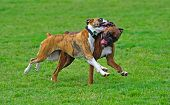 picture of seeing eye dog  - A pair of boxers playing out in the field enjoying life - JPG