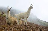 Llama (lama glama), mammal living in the South American Andes. poster