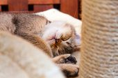 Brown British Kitten Sweet Sleeping Curled Up. Portrait Of A Sleeping Kitten Close-up. poster