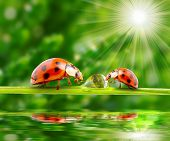 stock photo of drinking water  - Ladybugs family on a grass bridge over a spring flood - JPG