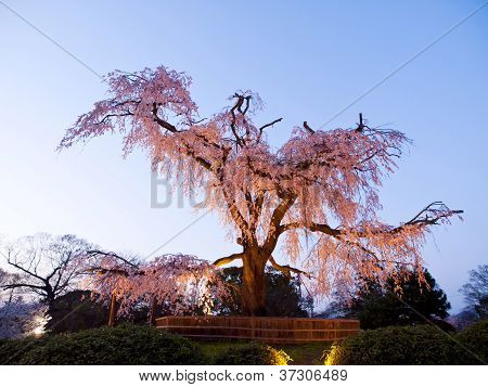 Ancient Cherry Tree In Japan