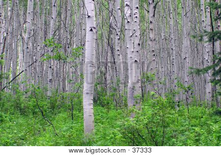 Aspen Tree Forest