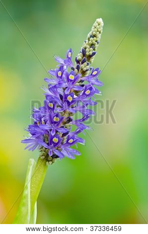 Blooming Pickerelweed (Pontederia cordata)
