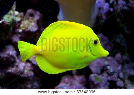 The yellow tang fish