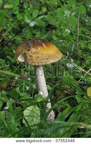 Snakeskin Grisette Fungi