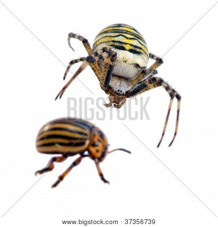 Colorado Potato Beetle Wasp Spider Isolated White