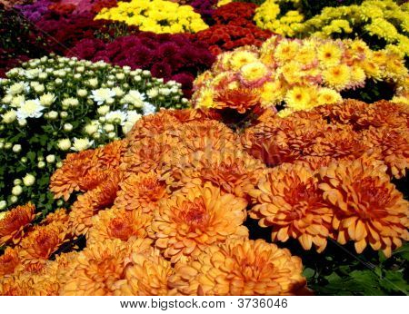 Sea Of Mums
