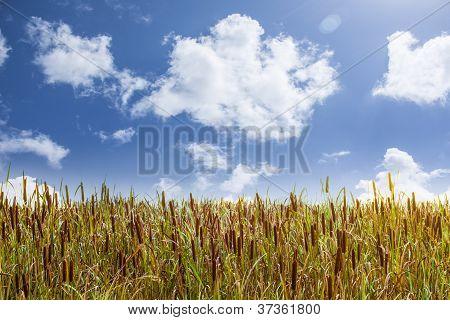 Broadleaf Cattail