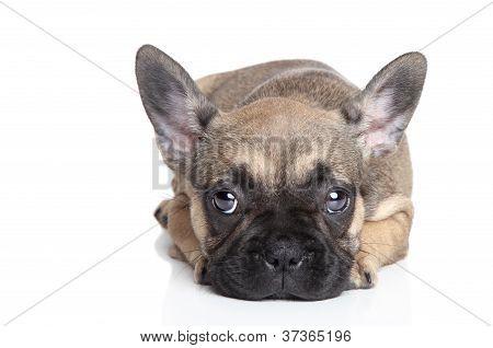 Sad French Bulldog Puppy