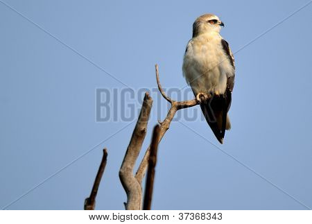 The Black-winged Kite