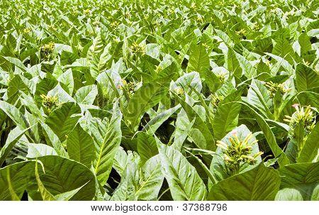 A Field Of Tobacco Plants In Flower