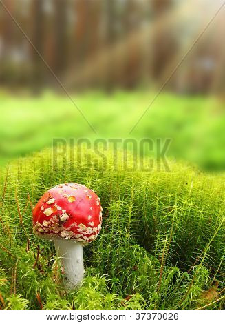 Early morning in a magic forest. Close up of The Fly Agaric or Fly Amanita (Amanita muscaria). Mushroom with hallucinogenic properties.