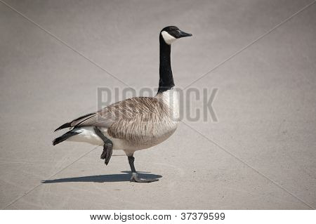 Canada Goose Standing On One Leg