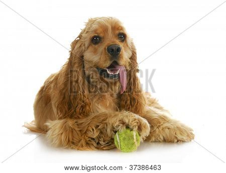 dog playing ball - american cocker spaniel with paw on a tennis ball isolated on white background