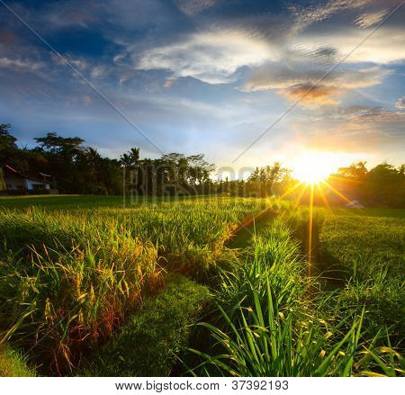 Sunset over rice field. Ubud, Bali