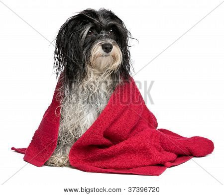 Wet Black And White Havanese Dog After Bath