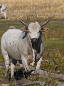 picture of bull-riding  - Large mean rodeo bull in a pasture - JPG