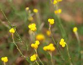 Australian native wild flower Yellow buttons Chrysocephalum apiculatum