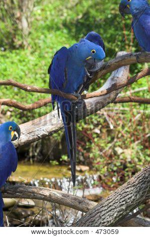 Hyacinth Macaws 2