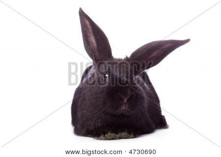 Timid Young Black Rabbit