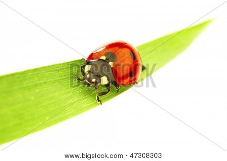 ladybug on green grass isolated white background
