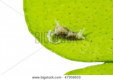 Just Born Caterpillar Of Butterfly