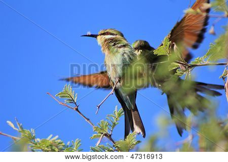 Bee-eater, Swallow tailed - Flight of the Wild and Free from Africa