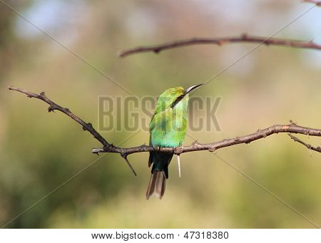 Bee-eater, Swallow tailed - Colorful Africa in the Wild and Free